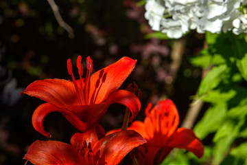 The blossoming lily growing in a flight garden.