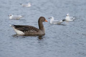 Greylag Goose, goose