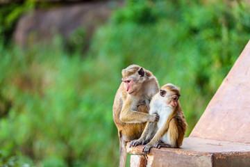 Sri Lanka monkey sitting on ruins
