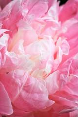 peony peonies flowers pink macro close-up