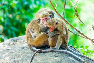 Sri Lanka monkey sitting on the tree