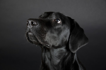 Portrait of a beautiful black Labrador Retriever (on a black background)