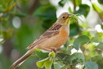 Orange beautiful bird eat green grasshopper on tree