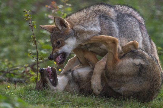 Wolf Puppy showing dominance to his brother