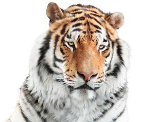 Fototapete - Elegant tiger