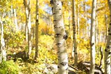Garden Poster Birch Grove aspen trunk