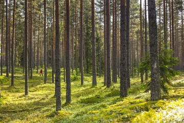 Person gathering mushrooms or berries in a beautiful green pine forest in Estonia