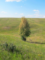 Lonely birch on the ravine slope against a blue sky