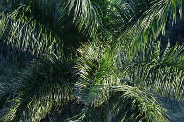 Cuba, Vinales, Palm Tree