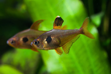 Aquarium fish. Rosy Tetra. Nature tank. Freshwater tank. A green