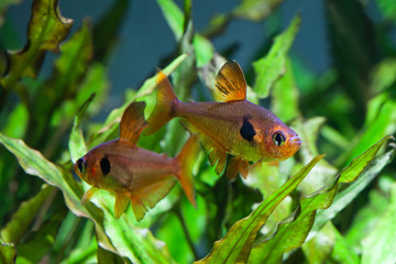 Aquarium fish. Rosy Tetra. Nature tank. Freshwater tank. A green beautiful planted freshwater aquarium with Tetra fishes. (macro, soft focus).