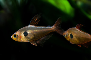 Aquarium fish. Rosy Tetra. Nature tank. Freshwater tank. Aquarium with tetra fishes. dark background (macro, soft focus).
