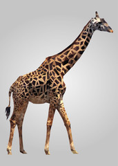 Giraffe animal standing and looking vector