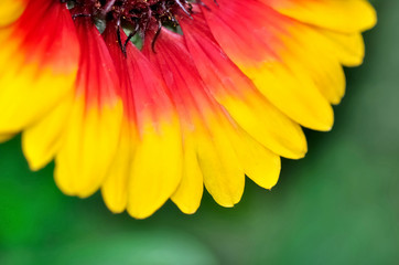 colorful  petals of daisy corola  on green background