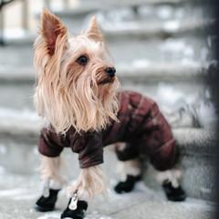 йоркширский терьер в зимней одежде на улице