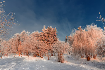 frost covered tree tops on a background of blue sky