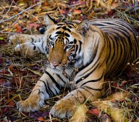 Wild tiger lying on the grass. India. Bandhavgarh National Park. Madhya Pradesh. An excellent illustration.