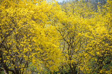 Tree Yellow on summer,thailand,asia.