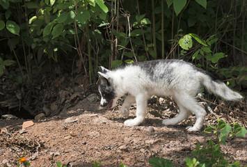 Marble Fox (Vulpes vulpes) Walks Left