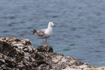 lonely seagull on a rock