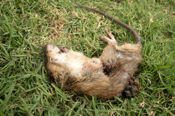 a dead rat  on  grass
