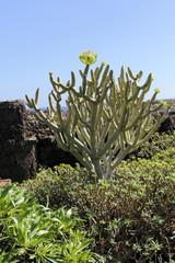 bush of Euphorbia balsamifera, tabaiba dulce, native to Canary Islands