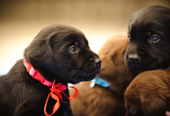 Group of Chocolate Labrador Retriever puppies with ribbons,