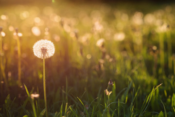 Foto op Aluminium Lente Green summer meadow with dandelions at sunset. Nature background