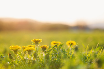 Wall Mural - Close up of dandelions on sunny summer meadow. Nature background