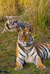 Two wild tigers are lying on grass. India. Bandhavgarh National Park. Madhya Pradesh. An excellent illustration.