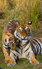 Mother and cub wild Bengal tiger in the grass. India. Bandhavgarh National Park. Madhya Pradesh. An excellent illustration.