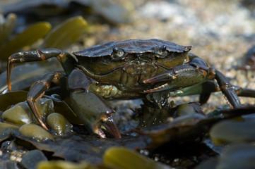 Green Shore Crab (Carcinus Maenus)/European Green Crab on barnacle and seaweed encrusted rock