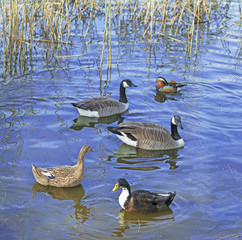 Different species of waterfowl birds, including ducks, Mandarin duck and geese, floating on the blue water