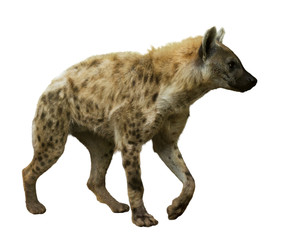 Fototapeten Hyane Spotted hyena on white