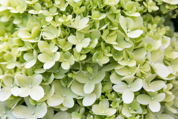 Printed kitchen splashbacks Hydrangea Blooming white hydrangea in foliage closeup