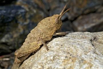 PN Sierra Nevada - saltamontes