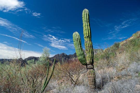 Cactus en el desierto de Baja California