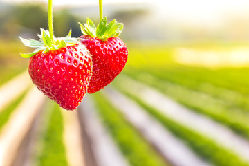 Strawberry with planting strawberry background