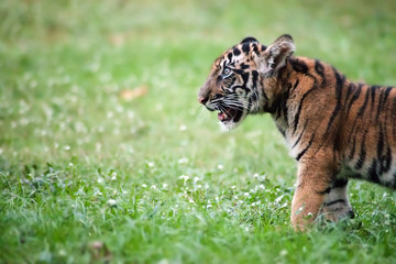 Bengal baby tiger is walking across a meadow.