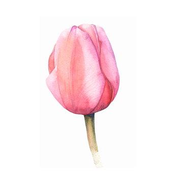pink watercolor tulip