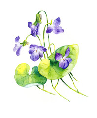 Bouquet of violets. Violets background, watercolor composition. Flower backdrop. Decoration with blooming violets, hand drawing. Illustration.