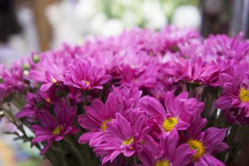 purple chrysanthemums closeup