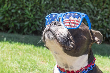 Boston Terrier Dog Looking Cute in Stars and Stripes Flag Sunglasses