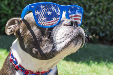 Close Up Boston Terrier Dog Wearing Stars and Stripes Sunglasses on Fourth of July