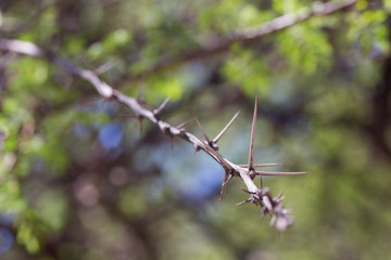 A closeup of a thorny twig of the African acacia tree