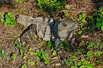 Tailless Endangered Less Antillean Iguana in Tulum Mexico