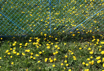 Green grass and yellow dandelions.