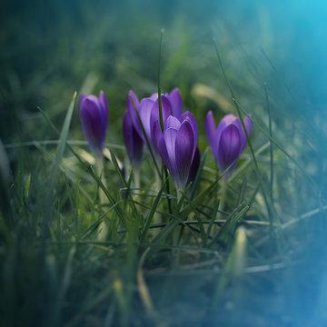 Lila Krokus im Rasen
