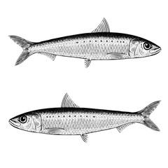 Pilchard (Sardine) Illustration
