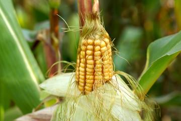 Ripe corn in the field closeup.